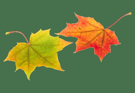 Dos hojas otoñales
